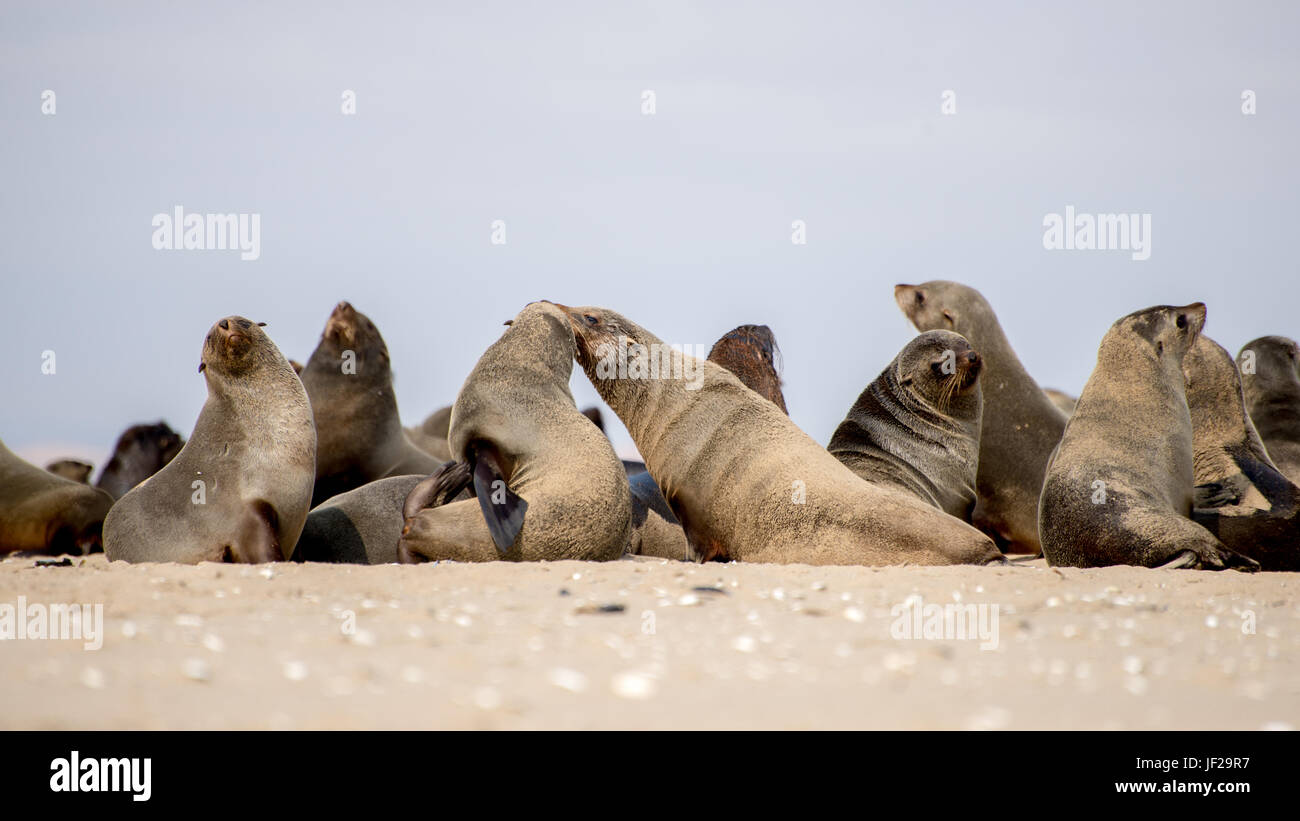 Colony of Seals on the Beach - Stock Image