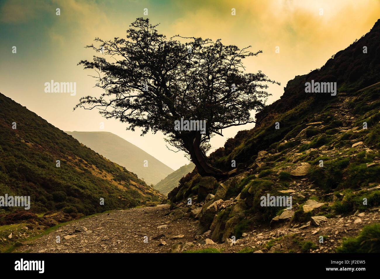 Hawthorn Tree - Stock Image