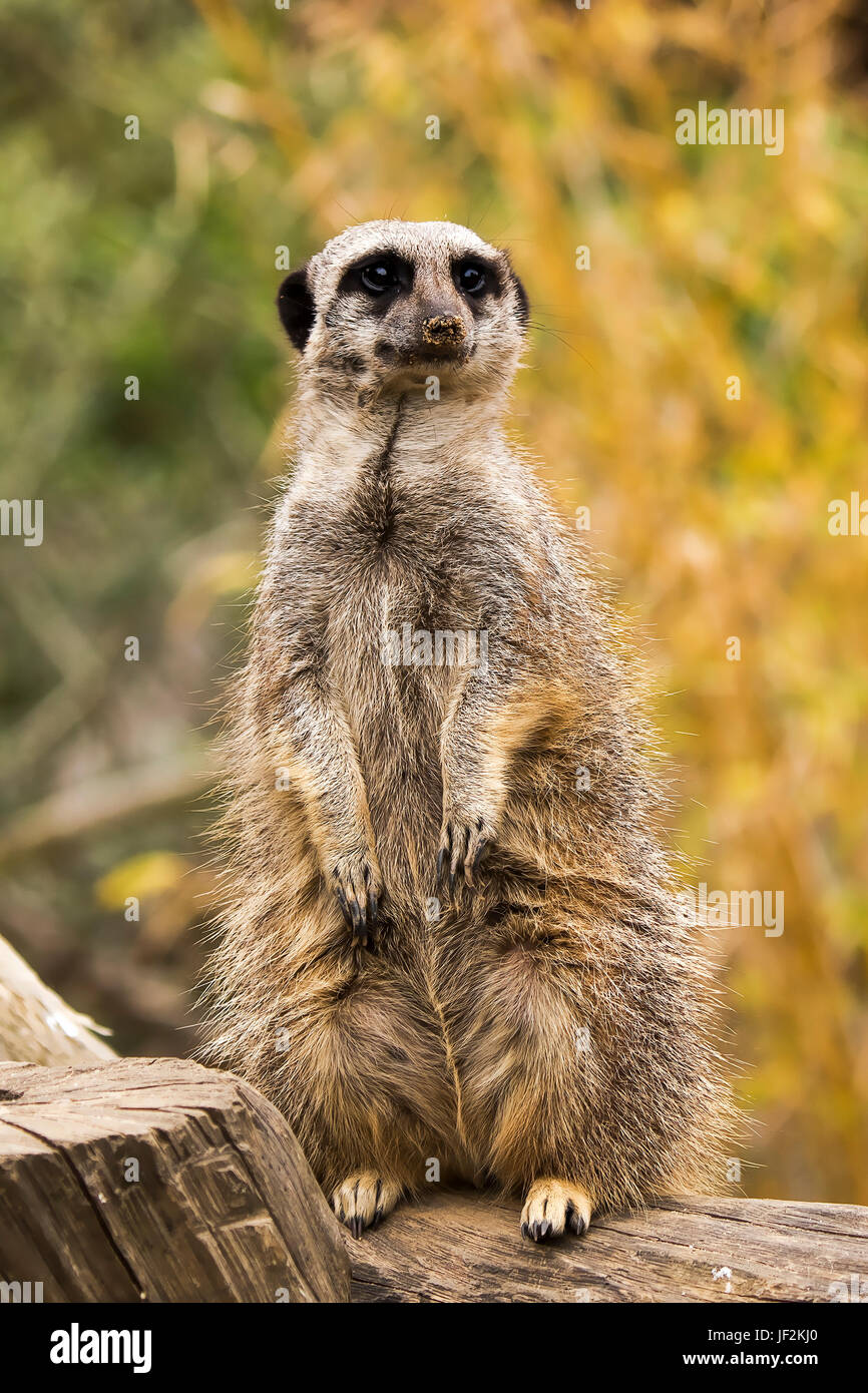A Photo of a Meerkat on Guard standing Upright - Stock Image