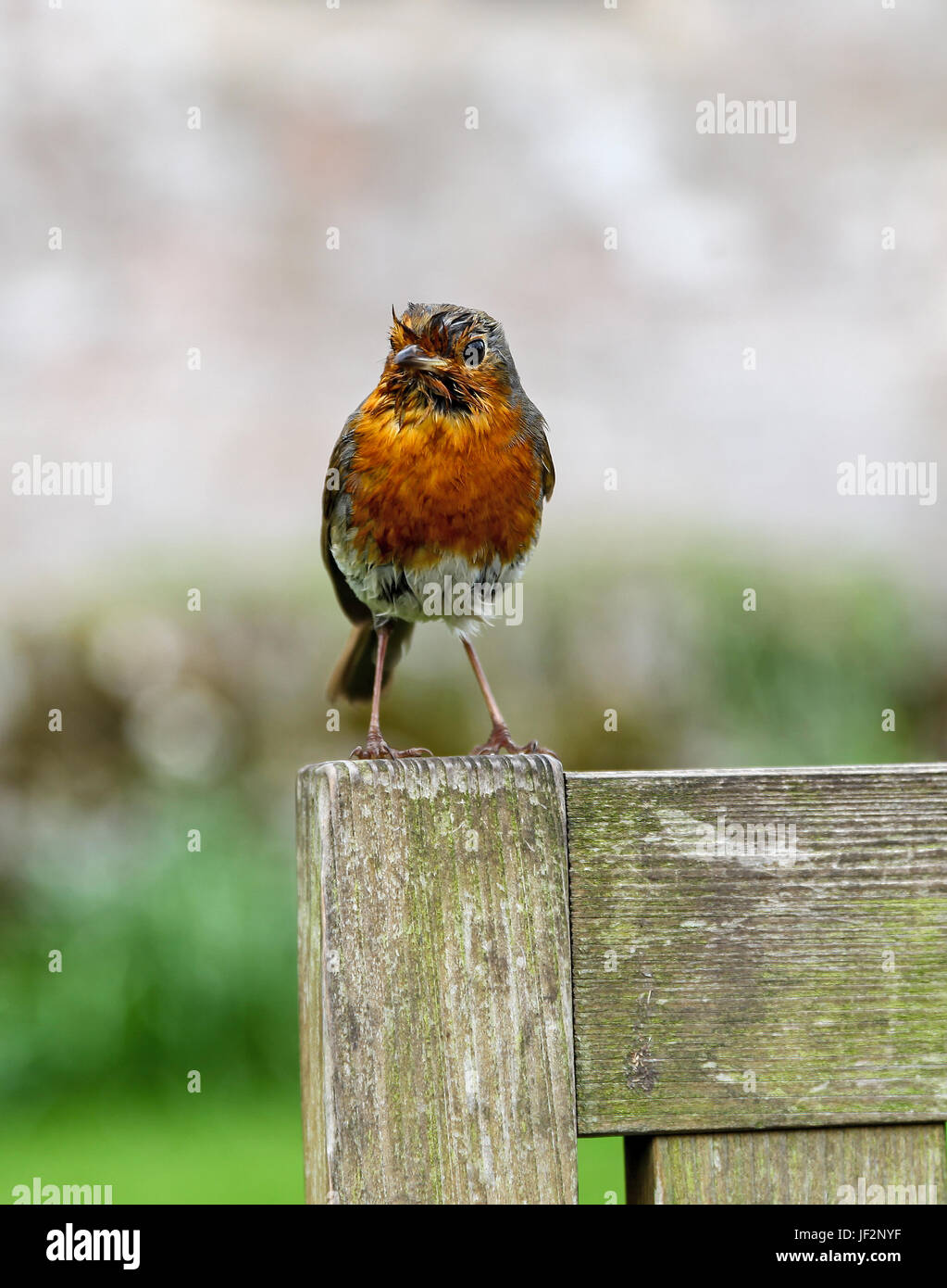 A European robin (Erithacus rubecula), known simply as the robin or robin redbreast  perched on a wooden seat Stock Photo