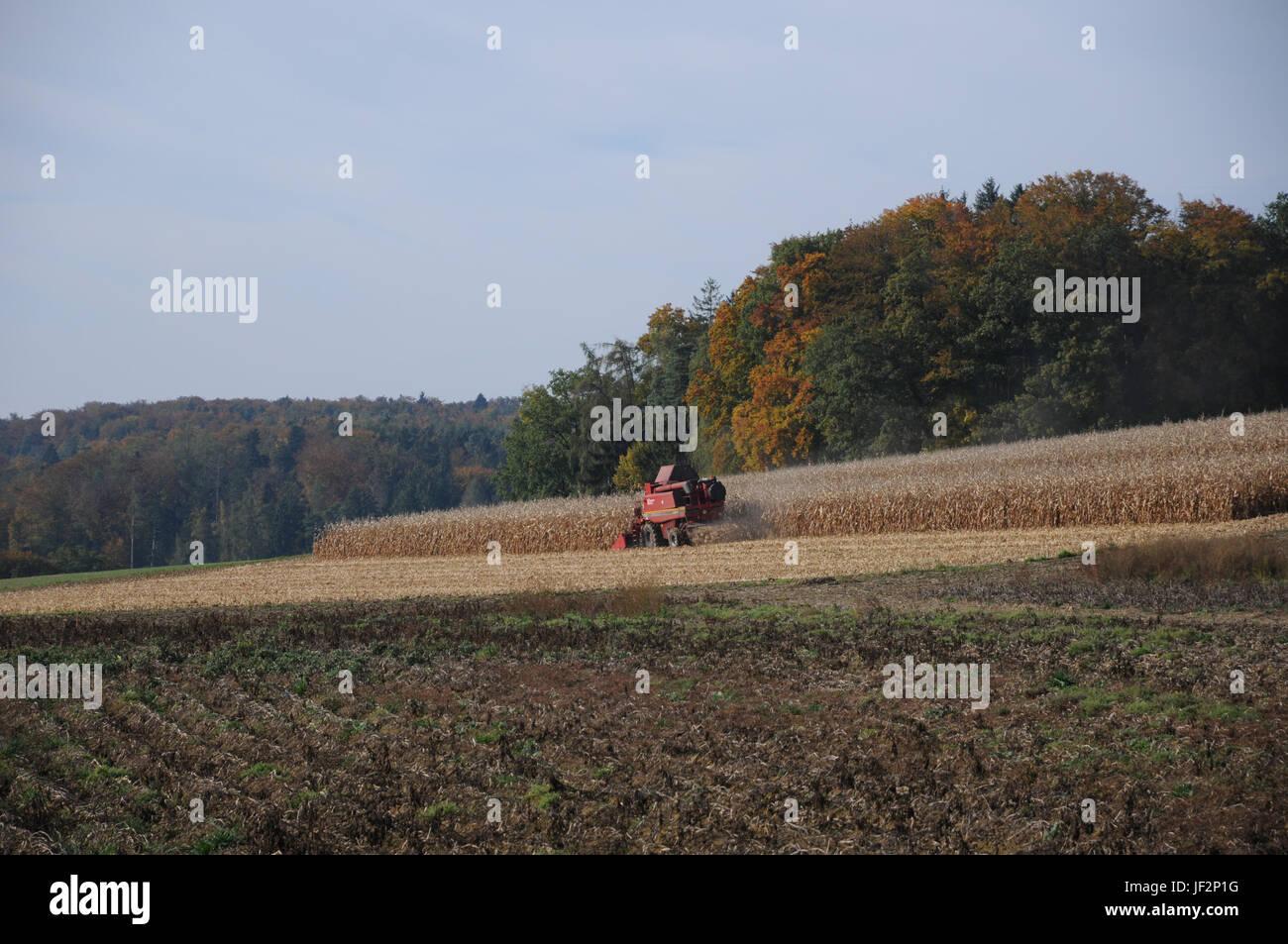 Zea mays, Maize, Harvest - Stock Image