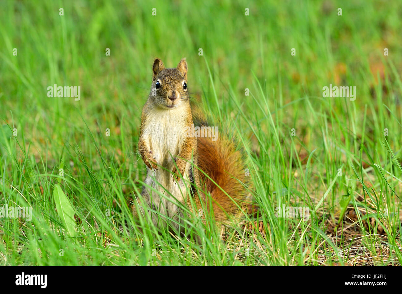 A red squirrel ( Tamiasciurus hudsonicus) ; standing on his rear feet looking forward in the deep grass in rural - Stock Image