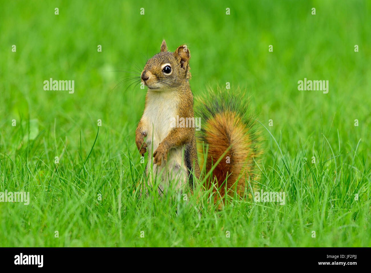 A red squirrel  Tamiasciurus hudsonicus; standing on his rear feet looking forward in the deep grass in rural Alberta - Stock Image