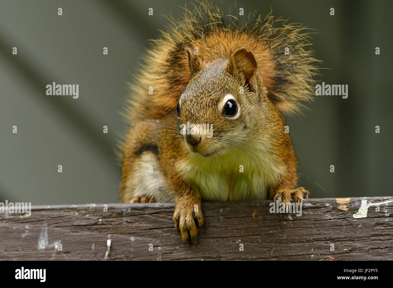 A red squirrel ( Tamiasciurus hudsonicus); on a brown fence in rural Alberta Canada - Stock Image