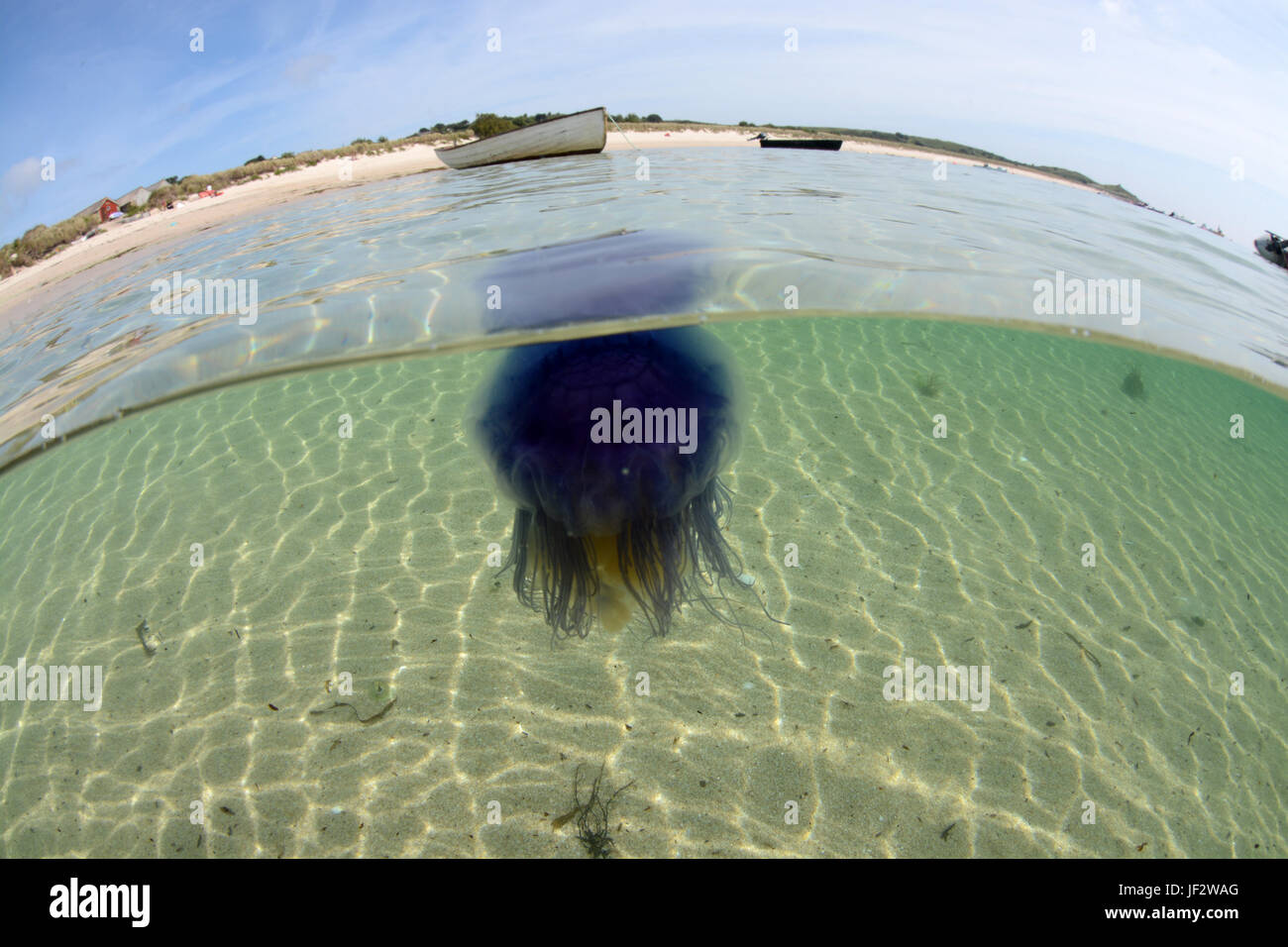 Blue jellyfish near a beach on St martins,Isles of Scilly - Stock Image