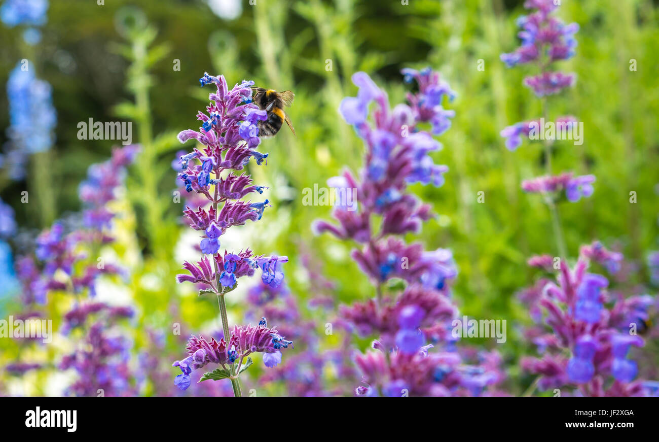 Catmint, Nepeta Six Hills Giant, and forest cuckoo bumblebee, Bombus sylvestris, Dirleton Castle Garden, East Lothian, - Stock Image