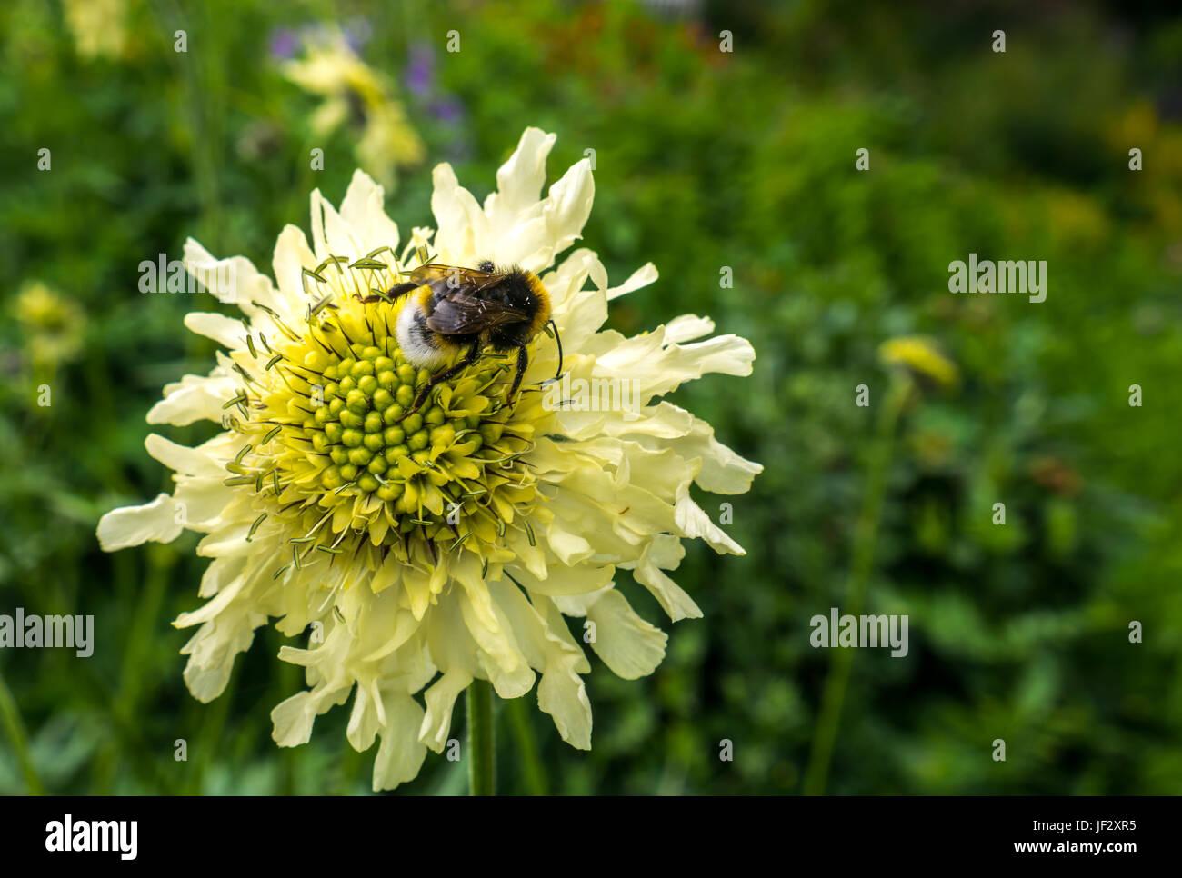 Giant scabious, Cephalaria gigantea, flower with bee, Bombus sylvestris, with blurred background, Dirleton Castle - Stock Image