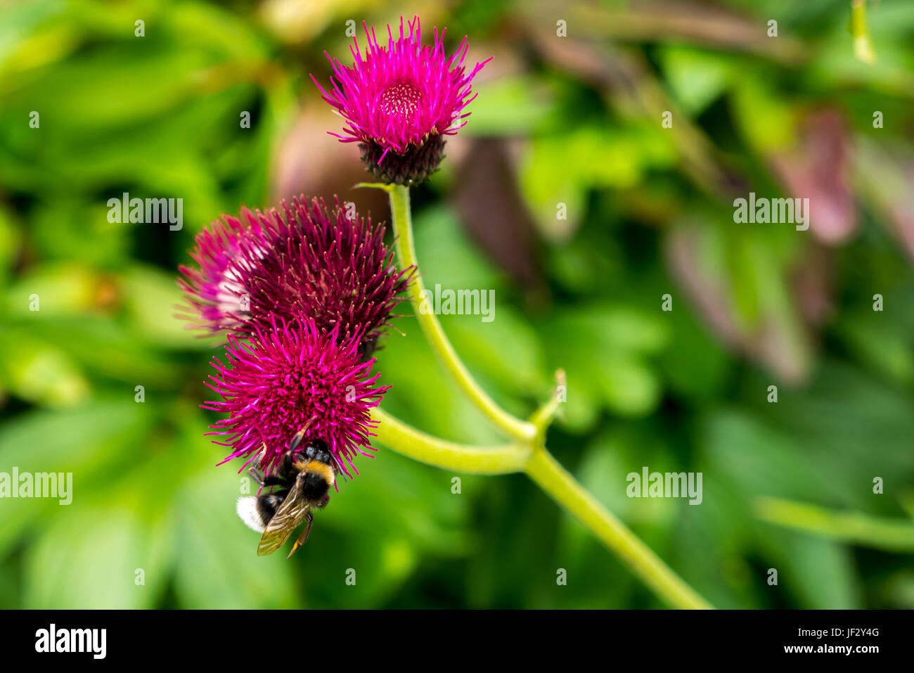 Close up of bumblebee on magenta thistle, Cirsium rivulare Atropurpureum, with blurred background, Dirleton Castle - Stock Image
