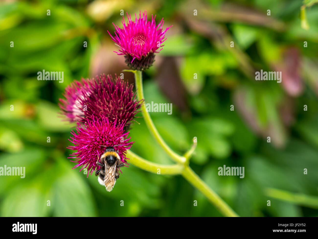 Close up of bumblebee on magenta thistle, Cirsium rivulare Atropurpureum, with blurred background, Dirleton Castle - Stock Image