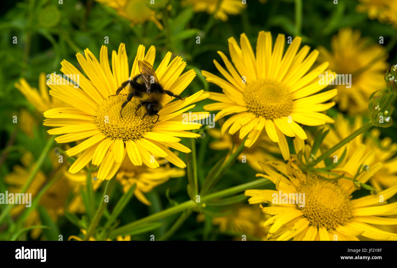 Close up of yellow ox eye flower Buphthalmum salicifolium with forest cuckoo bumblebee, Dirleton Castle Garden, - Stock Image