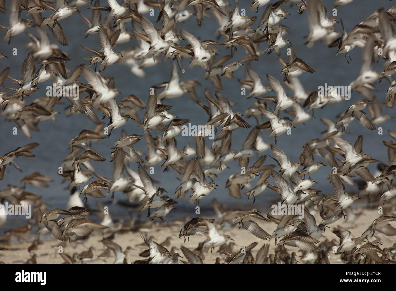 mixed shorebird flock, mostly semi-palmated sandpipers, Delaware bay, New Jersey - Stock Image