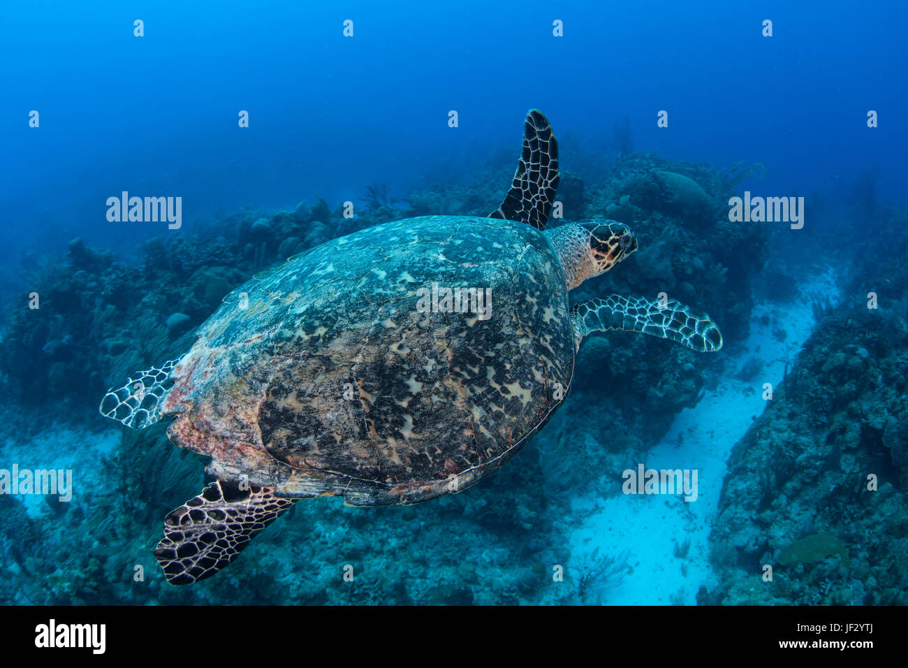 A Hawksbill sea turtle swims in the clear, blue water of the Caribbean Sea off the coast of Belize. This is an endangered - Stock Image
