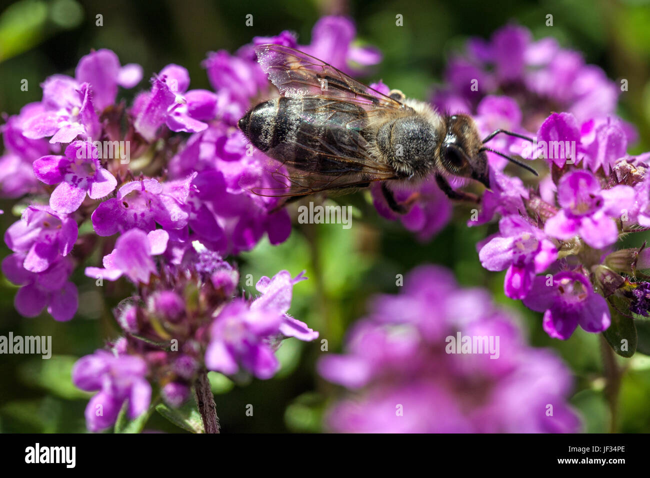 Bee on Thymus pulegioides 'Kurt', Broad-leaved thyme, Lemon thyme, pollination - Stock Image