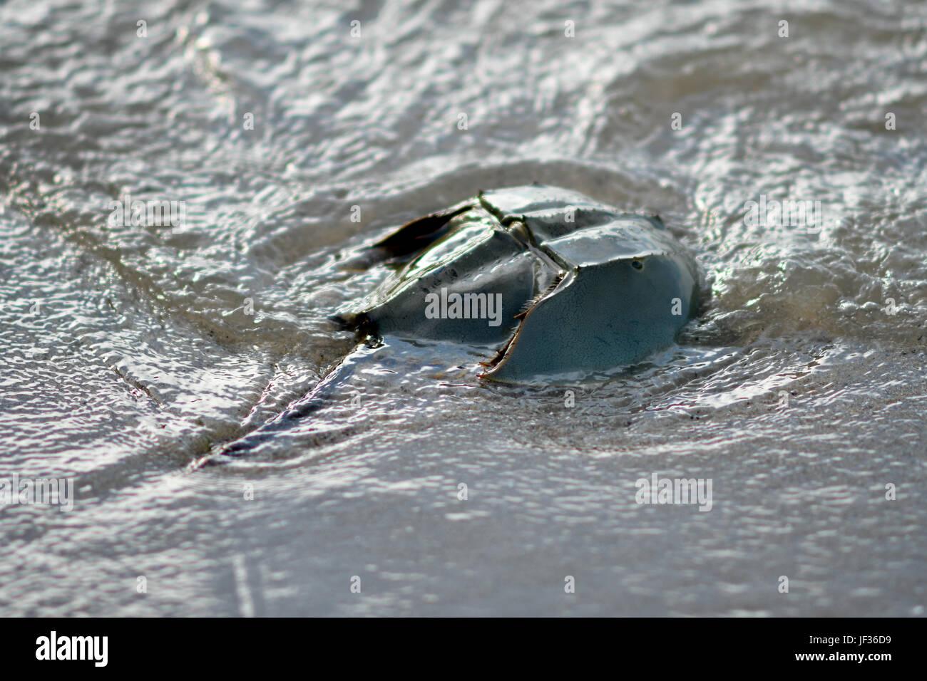 Horseshoe crab - Stock Image