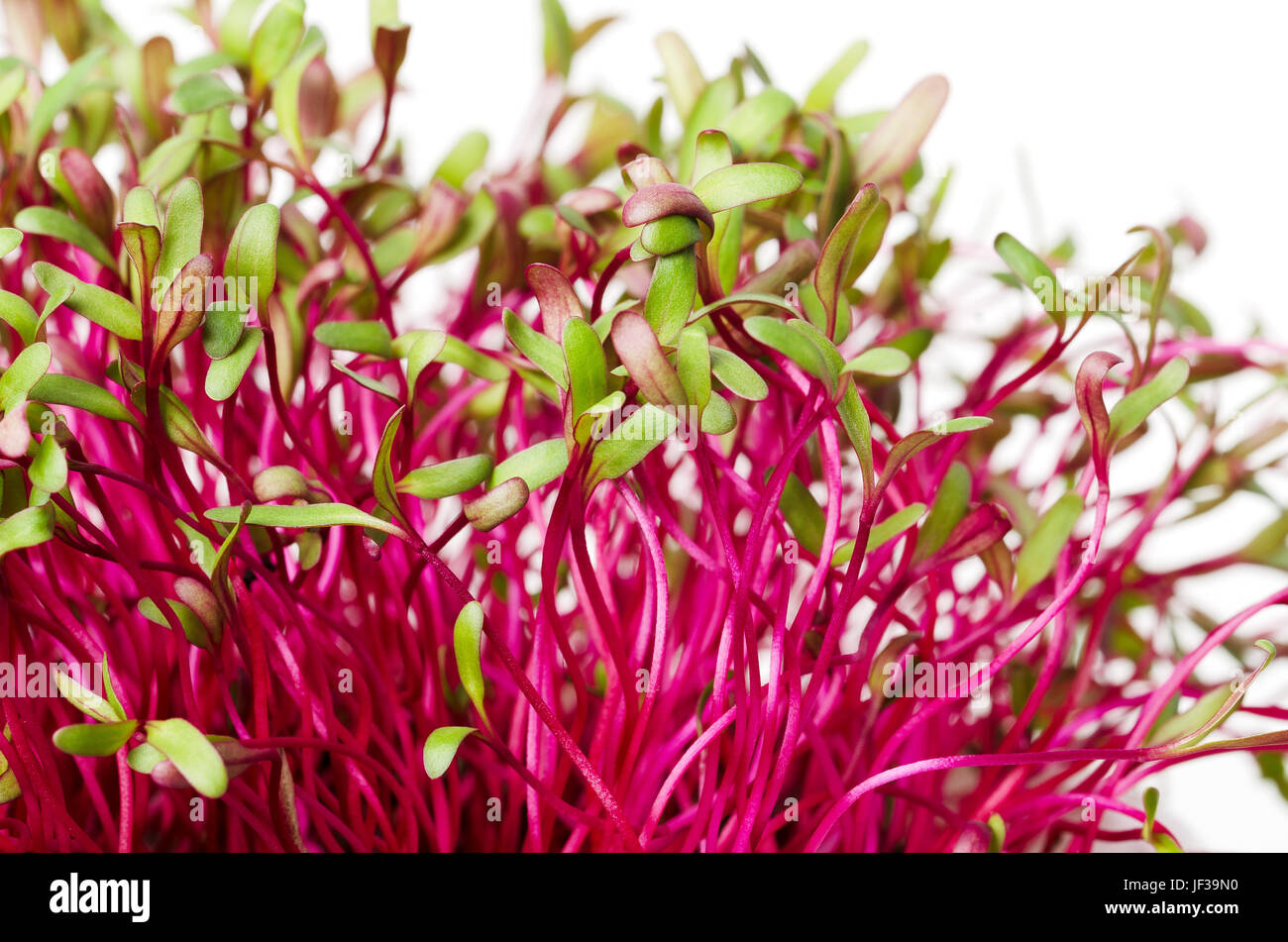 Red beetroot, fresh sprouts and young leaves. An edible vegetable, herb and microgreen. Also called beet and table, Stock Photo