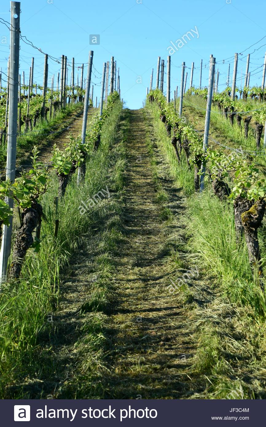 Weinanbau auf der Insel Reicheau - Stock Image
