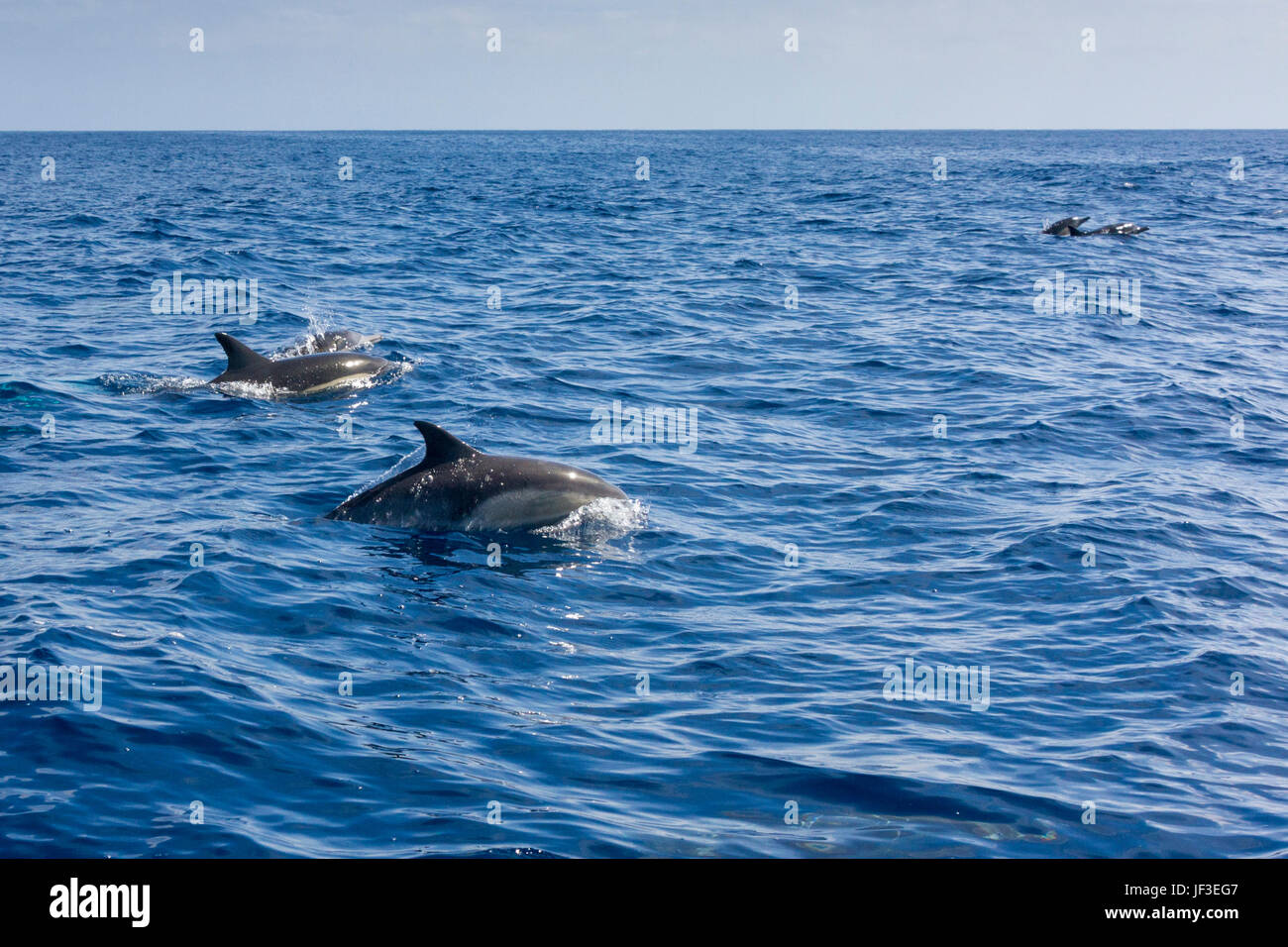 Common Bottlenose Dolphins in Pacific Ocean near Catalina Island. - Stock Image