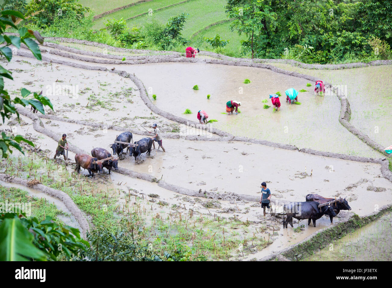 Plowing rice fields with livestock, Nuwakot district, Nepal - Stock Image