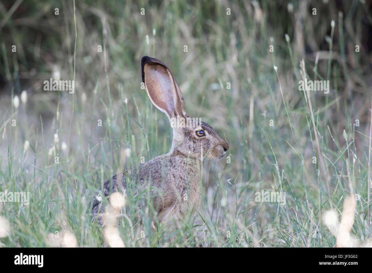 Alert Black-tailed Jackrabbit (Lepus californicus) Camouflaged. - Stock Image