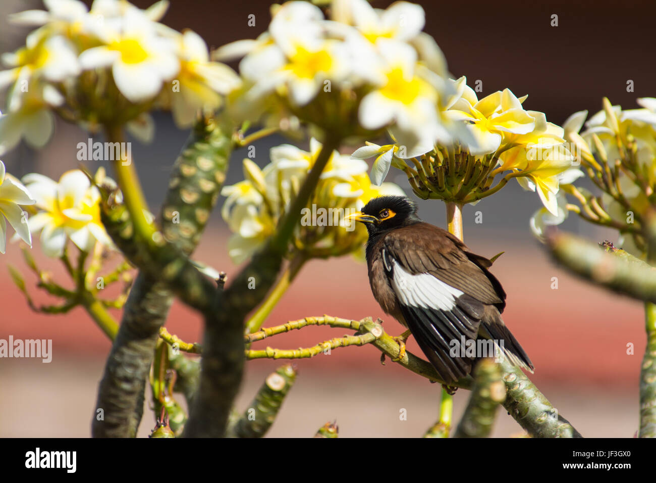 Common myna,Acridotheres tristis, perched among Plumeria flowers on the island of Maui. - Stock Image