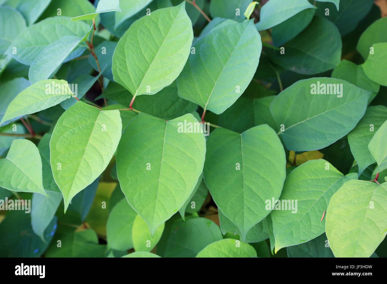 Japanese knotweed, reynoutria japonica Stock Photo
