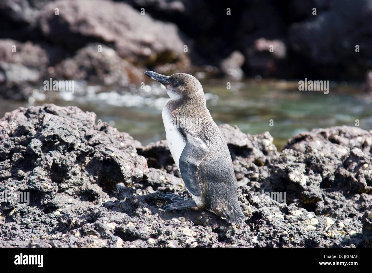 Galapagos penguin. Ecuador - Stock Image