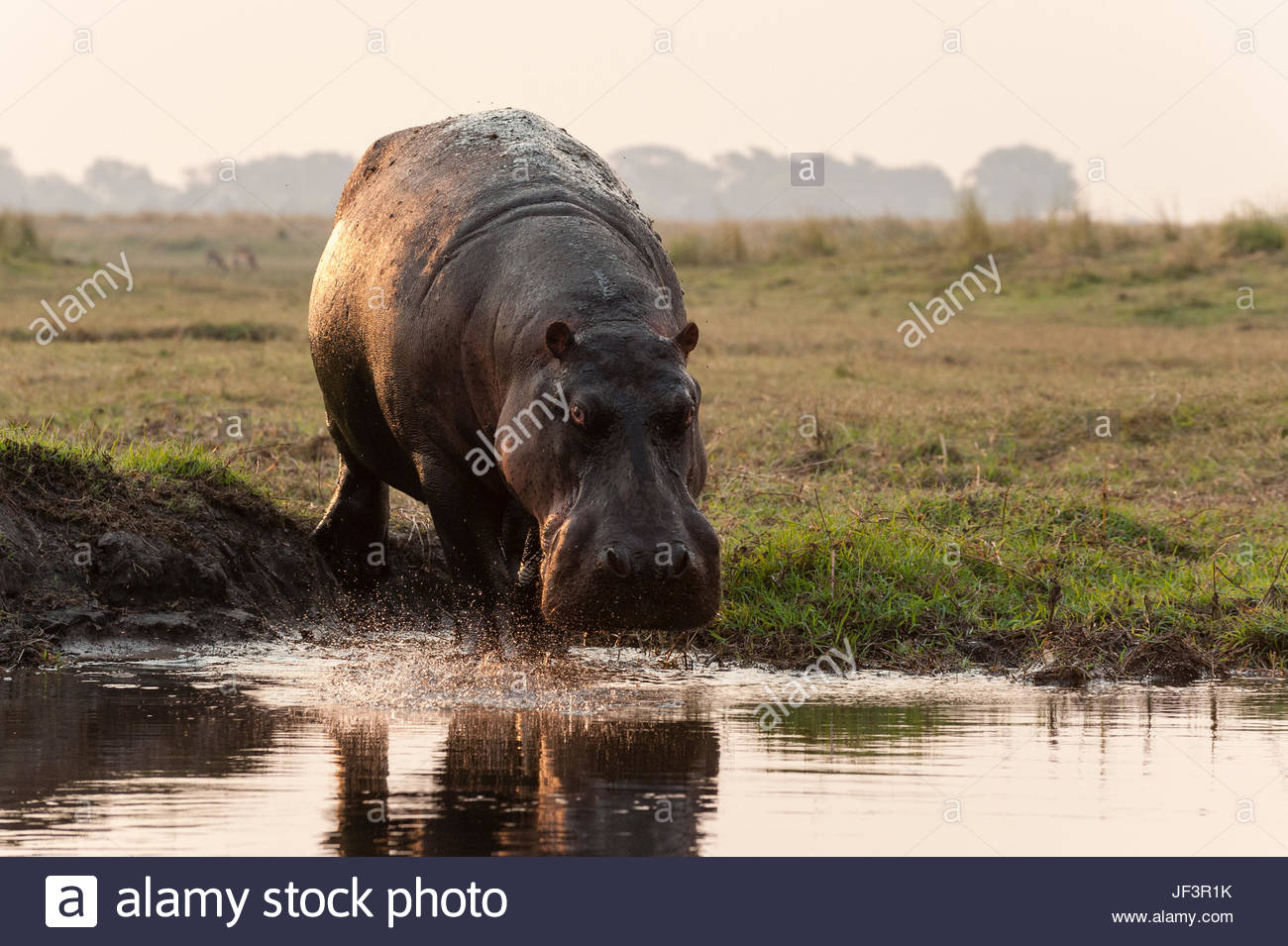 Portrait of a hippopotamus, Hippopotamus amphibius, running into the water from a river bank. - Stock Image