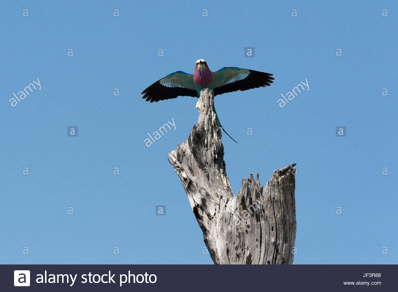 A lilac-breasted roller, Coracias caudatus, landing on an old tree snag. Stock Photo