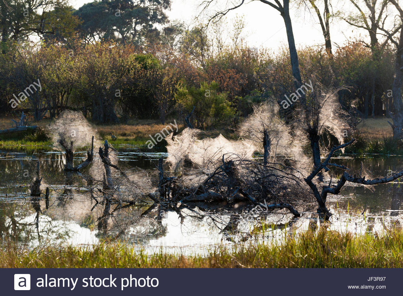 The webs of community spiders in dead tree snags lying in water. - Stock Image