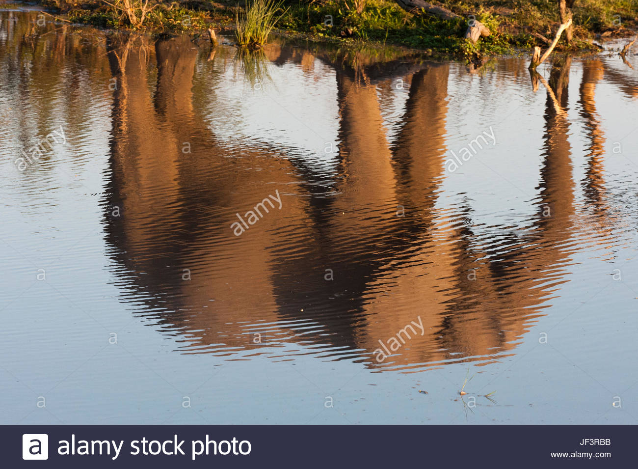 The reflection of an African elephant, Loxodonta africana, walking beside a waterhole. - Stock Image