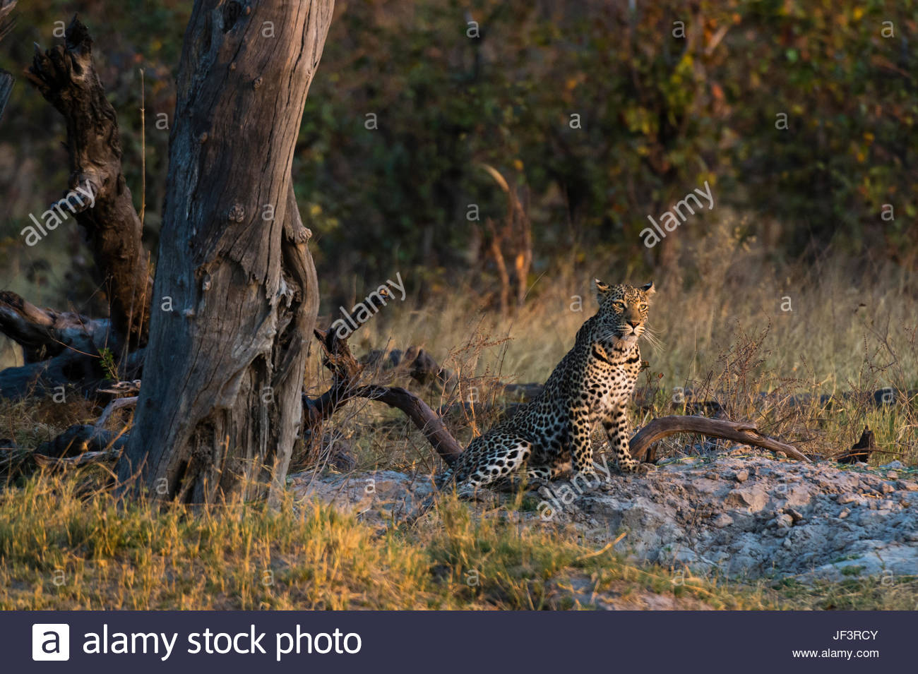 A leopard, Panthera pardus, resting near a dead tree. - Stock Image