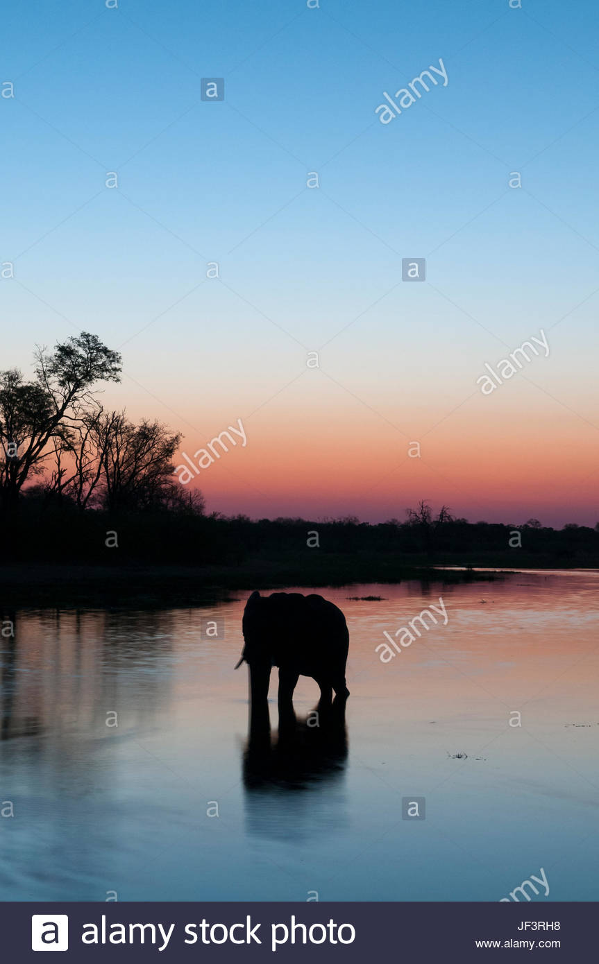 An African elephant, Loxodonta africana, drinking in the Khwai River at dusk. - Stock Image