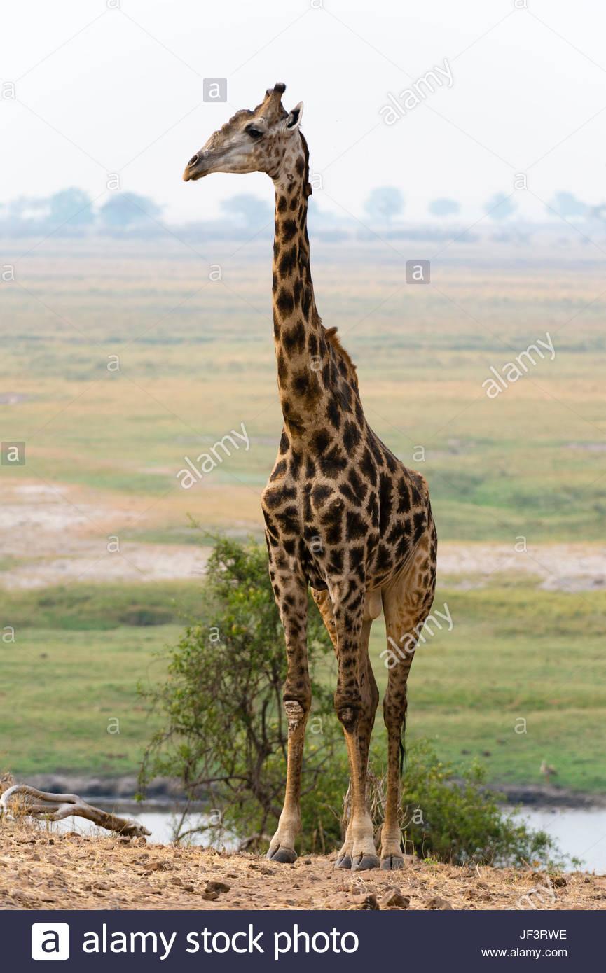 Portrait of a male giraffe, Giraffa camelopardalis. - Stock Image