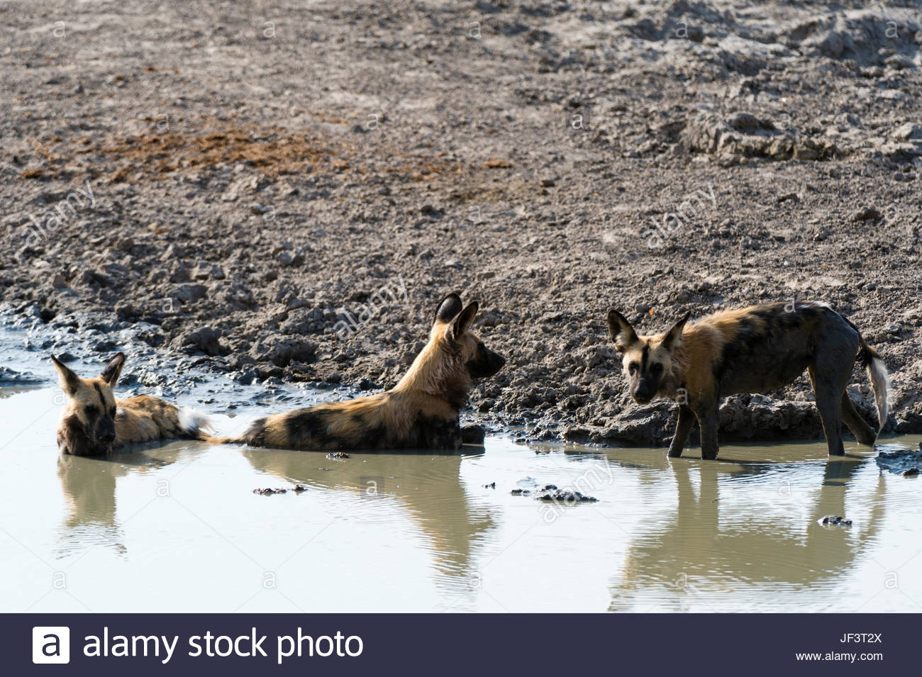 Endangered African wild dogs or painted wolves, Lycaon pictus, cooling off in a water pool. - Stock Image