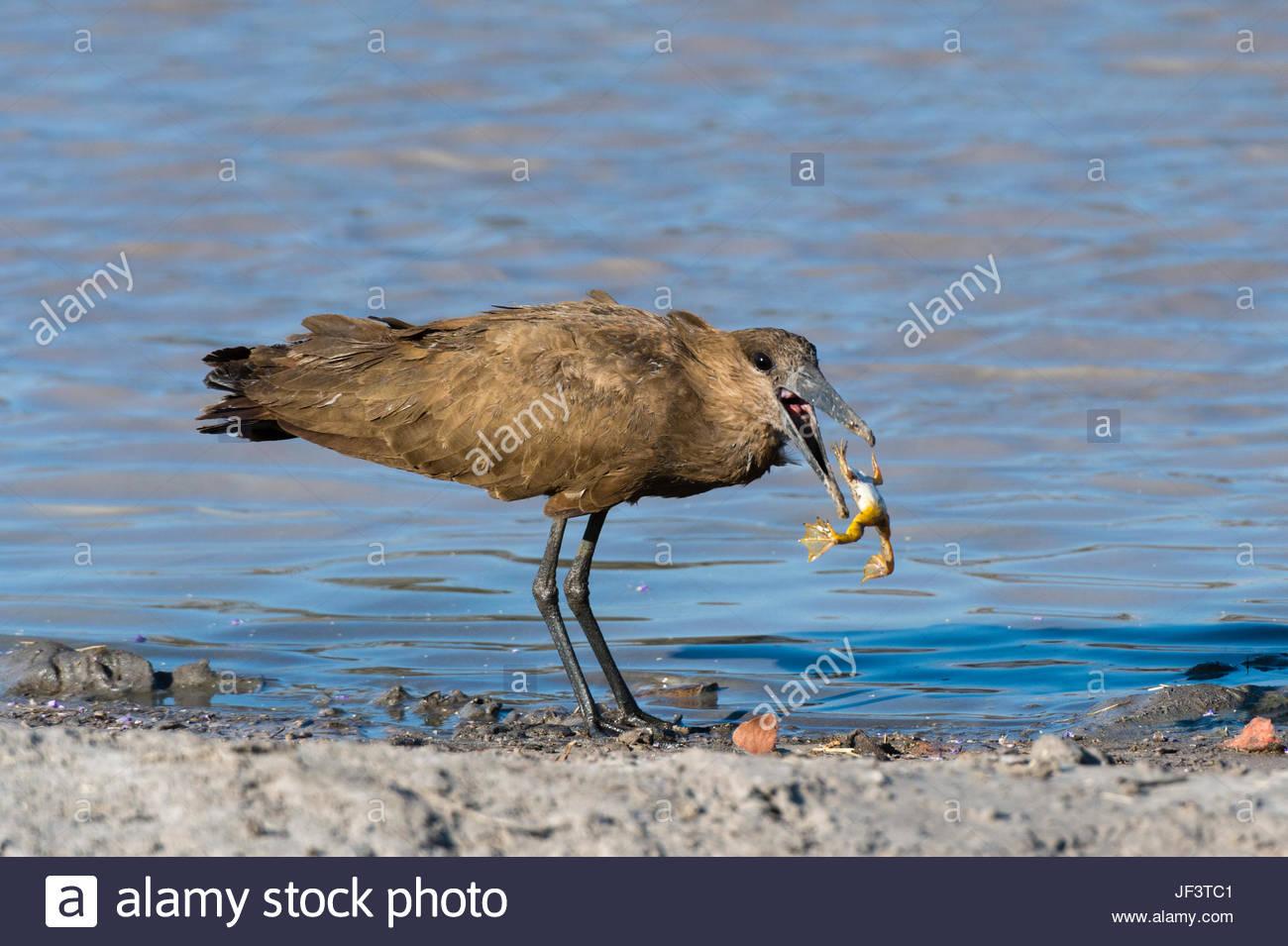 A hammerkop, Scopus umbretta, feeding on a frog. - Stock Image