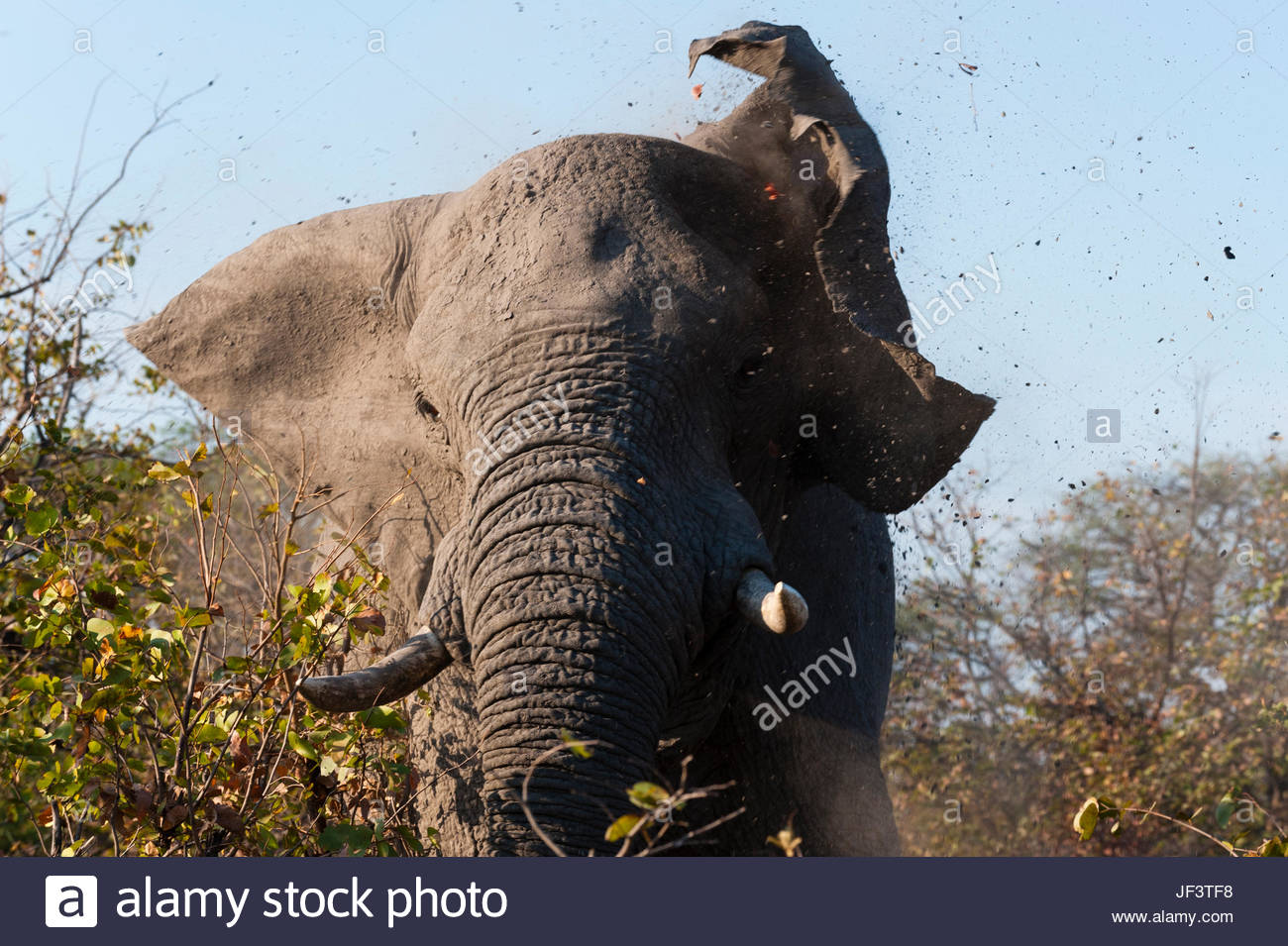 An African elephant, Loxodonta africana, charging and flapping his ears. - Stock Image