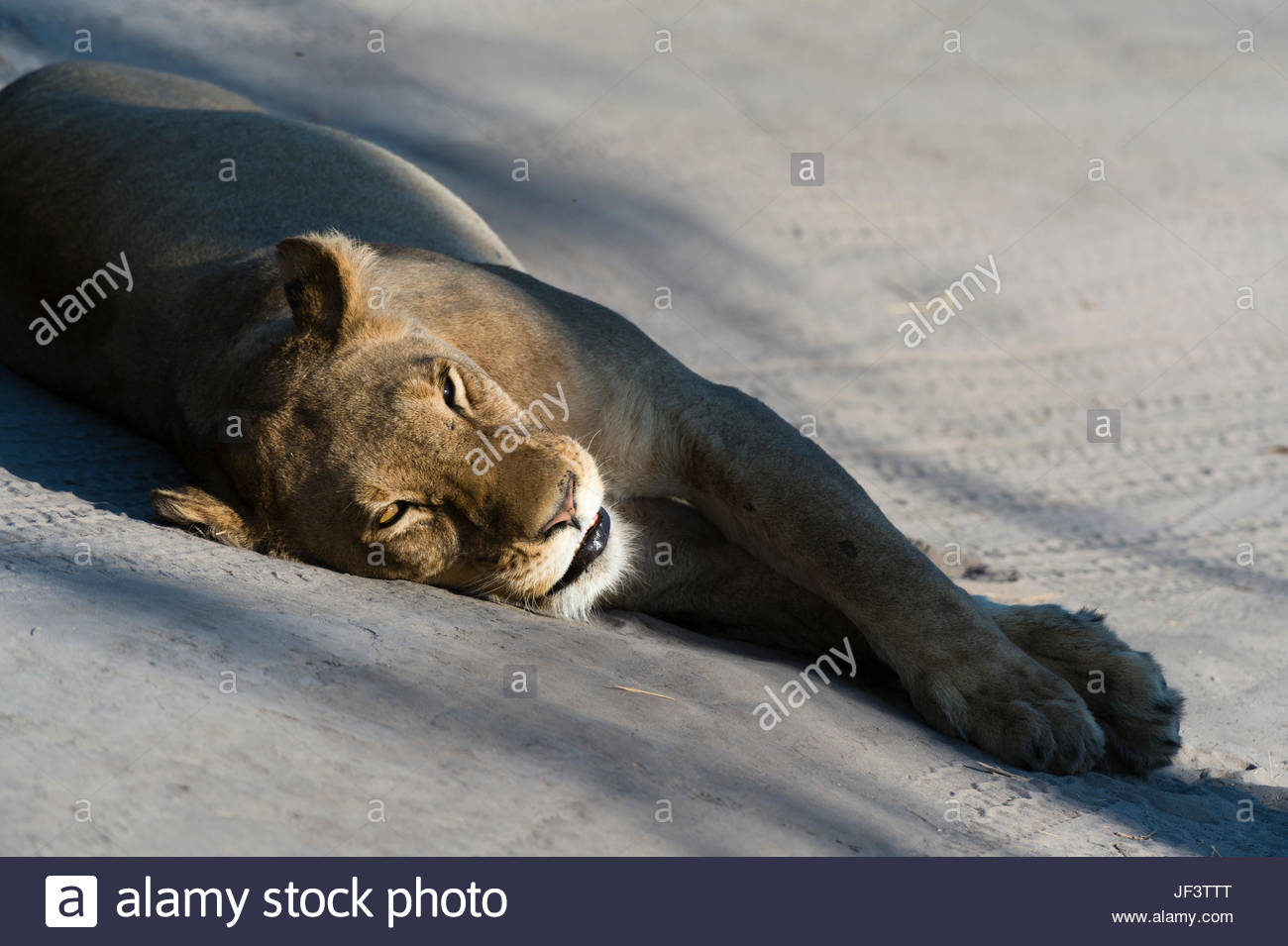 A lioness, Panthera leo, resting on the tracks left by a vehicle. Stock Photo