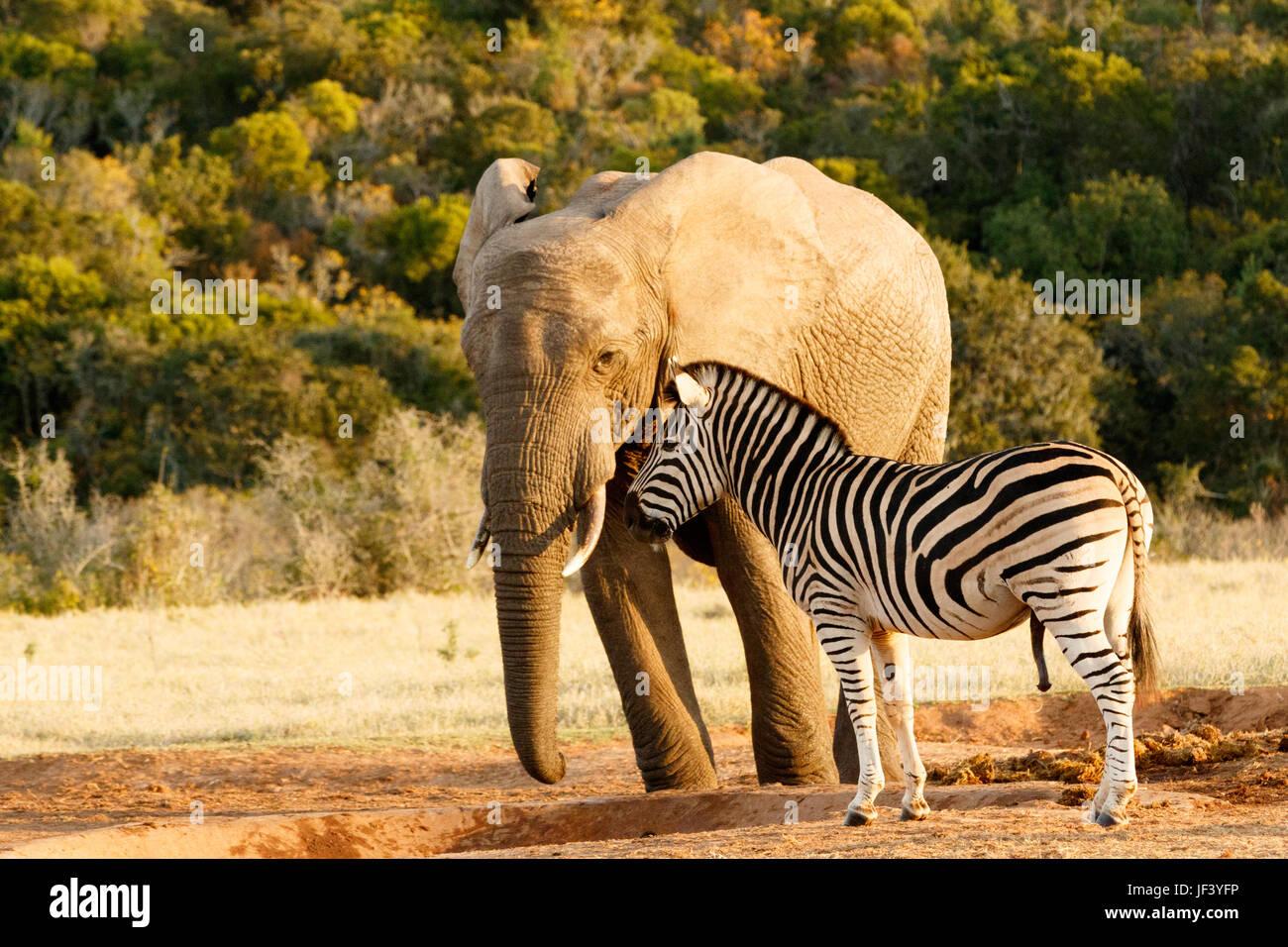 Zebra mocking a huge african bush elephant - Stock Image