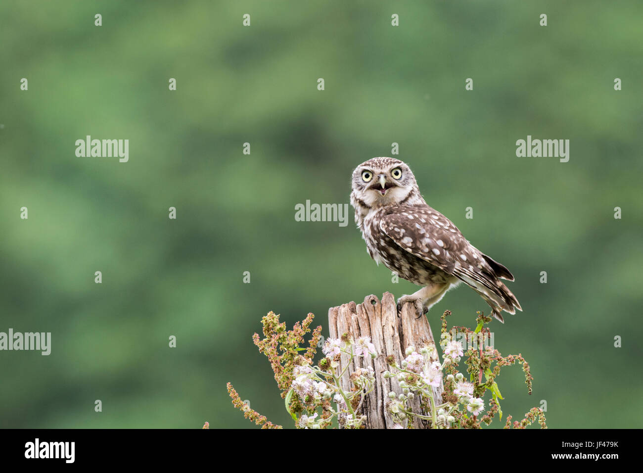 Little owl (Athene noctua) perched on an old post. This bird is panting on a very hot day, but the demands of it's - Stock Image
