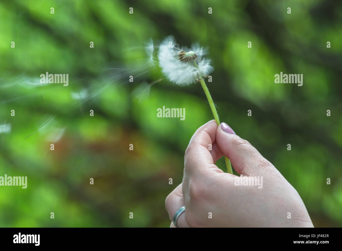 Closeup of dandelion in a hand Stock Photo