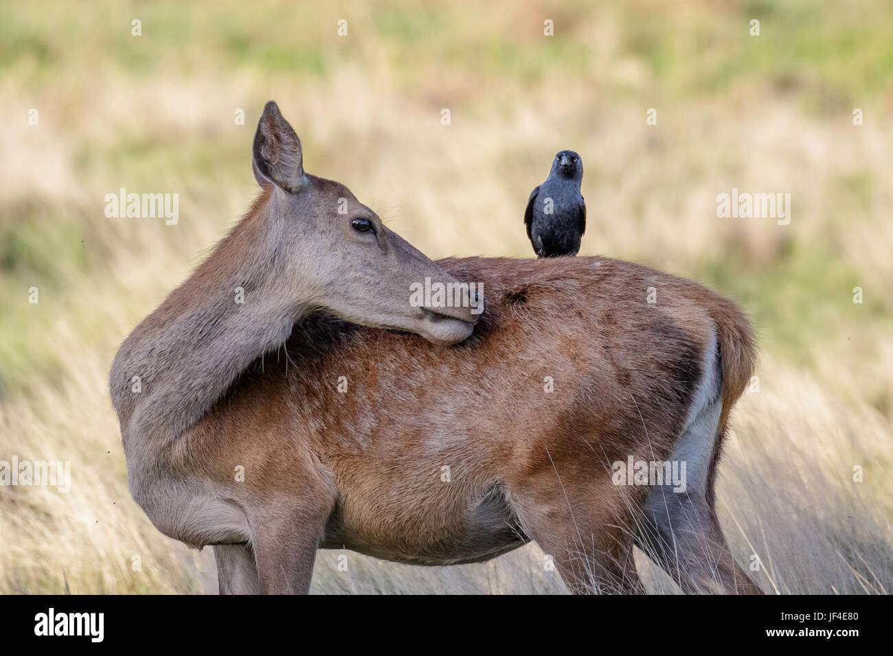 Grooming Red Deer female hind (Cervus elaphus) with  jackdaw on back - Stock Image