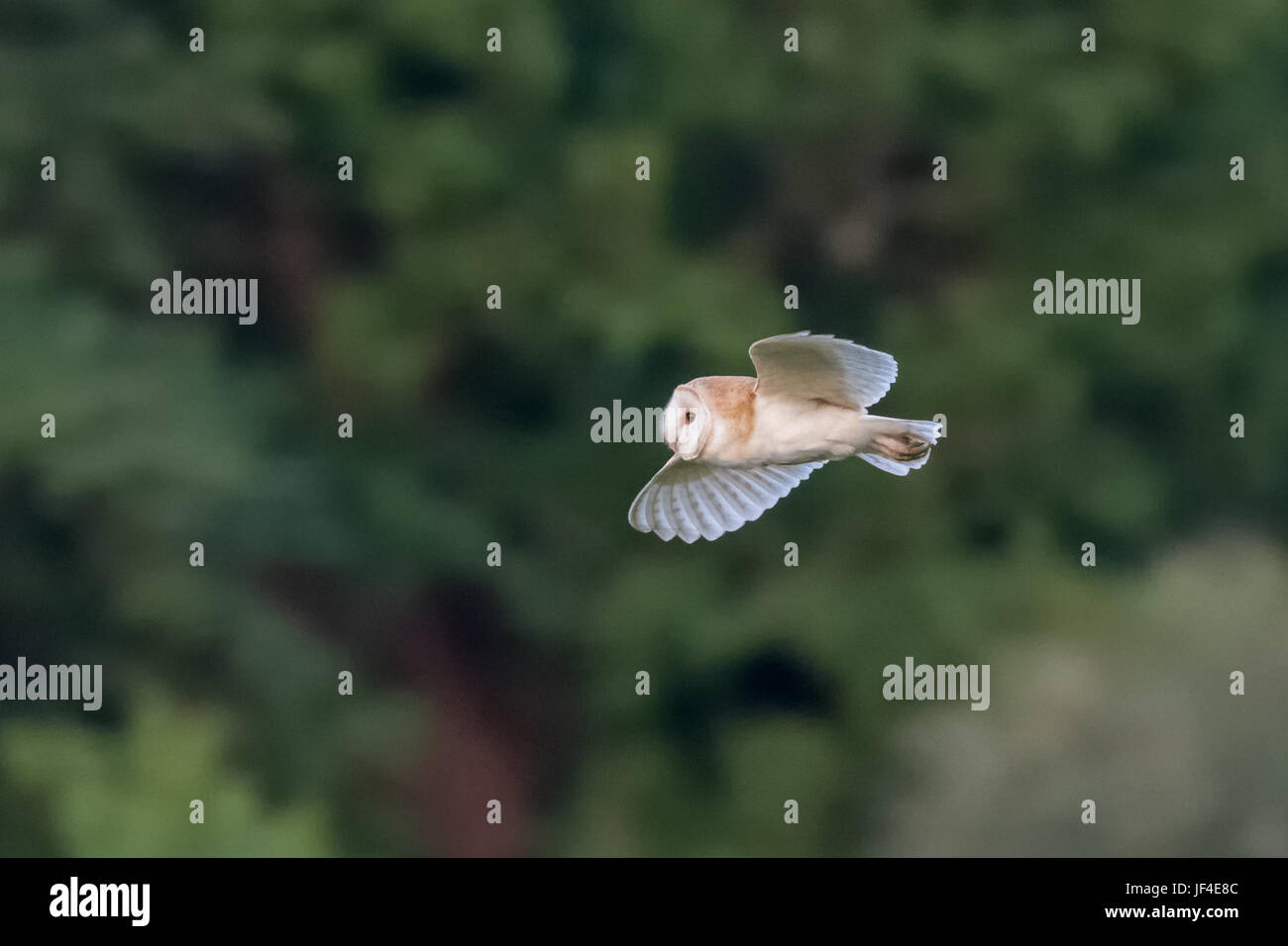 Side view of a single Barn Owl (Tyto alba) flying across green background - Stock Image