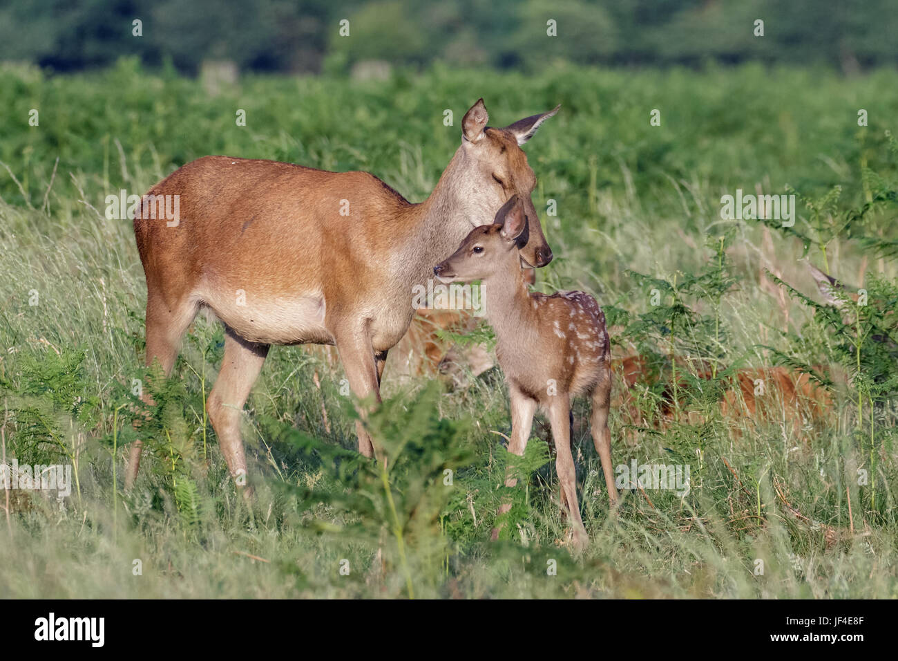 Red deer (Cervus elaphus) female hind mother and young baby calf having a tender bonding moment - Stock Image