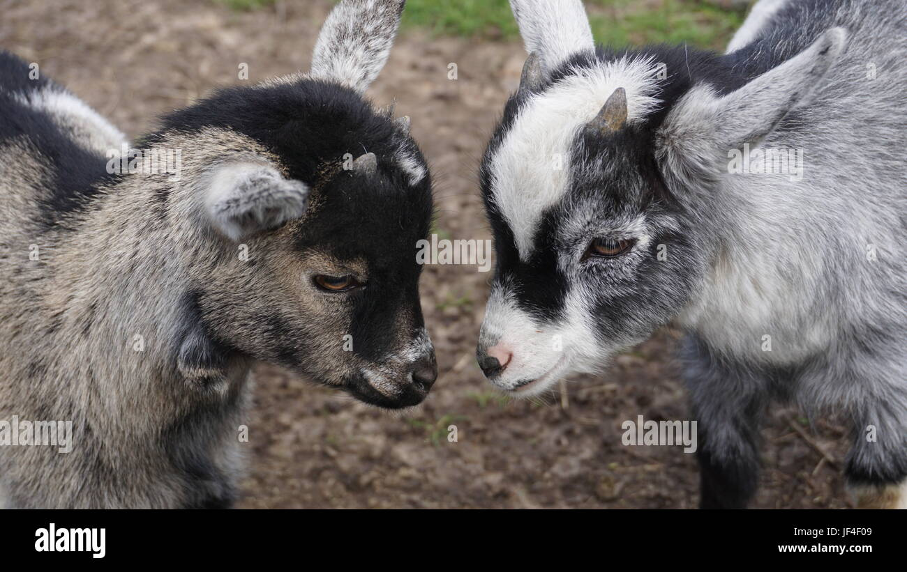 the humble goat - Stock Image