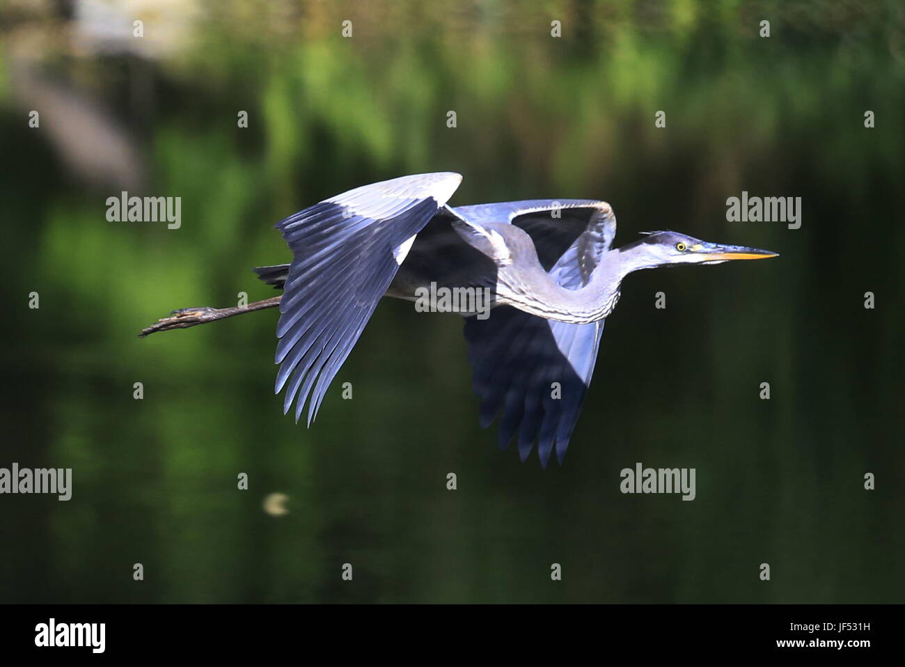 ROSTOV-ON-DON, RUSSIA – JUNE 28, 2017: A grey heron at the Rostov-on-Don Zoo. Valery Matytsin/TASS - Stock Image