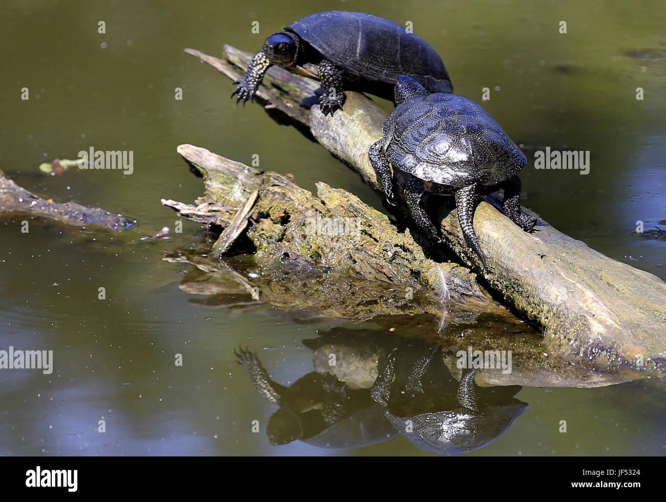 ROSTOV-ON-DON, RUSSIA – JUNE 28, 2017: European pond turtles at the Rostov-on-Don Zoo. Valery Matytsin/TASS - Stock Image