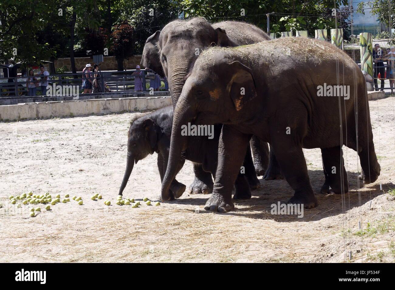 ROSTOV-ON-DON, RUSSIA – JUNE 28, 2017: Elephants at the Rostov-on-Don Zoo. Valery Matytsin/TASS - Stock Image