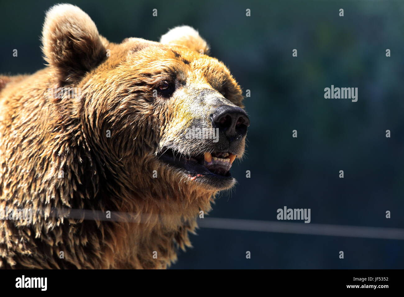 ROSTOV-ON-DON, RUSSIA – JUNE 28, 2017: A brown bear at the Rostov-on-Don Zoo. Valery Matytsin/TASS - Stock Image