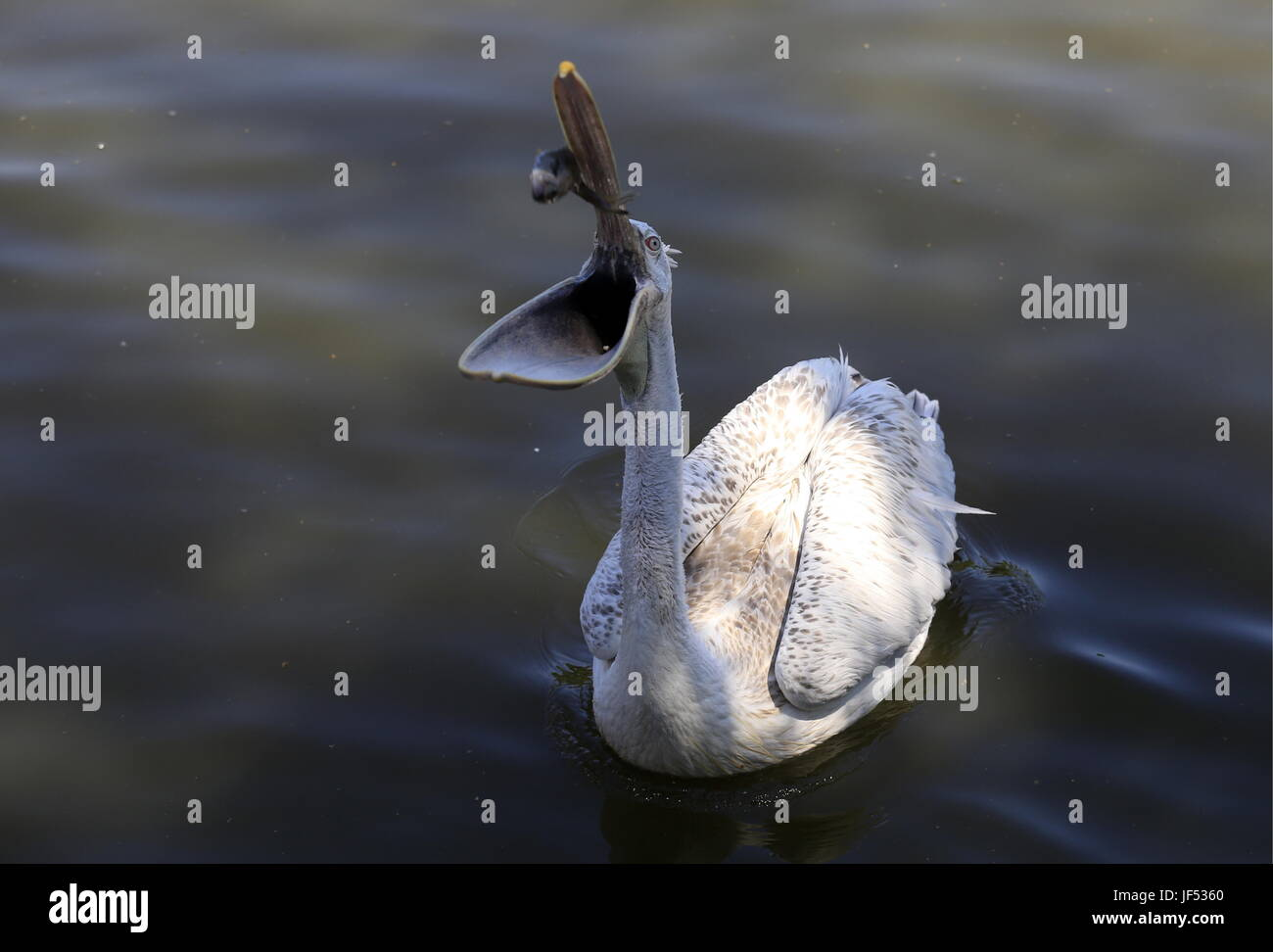ROSTOV-ON-DON, RUSSIA – JUNE 28, 2017: A pelican at the Rostov-on-Don Zoo. Valery Matytsin/TASS - Stock Image