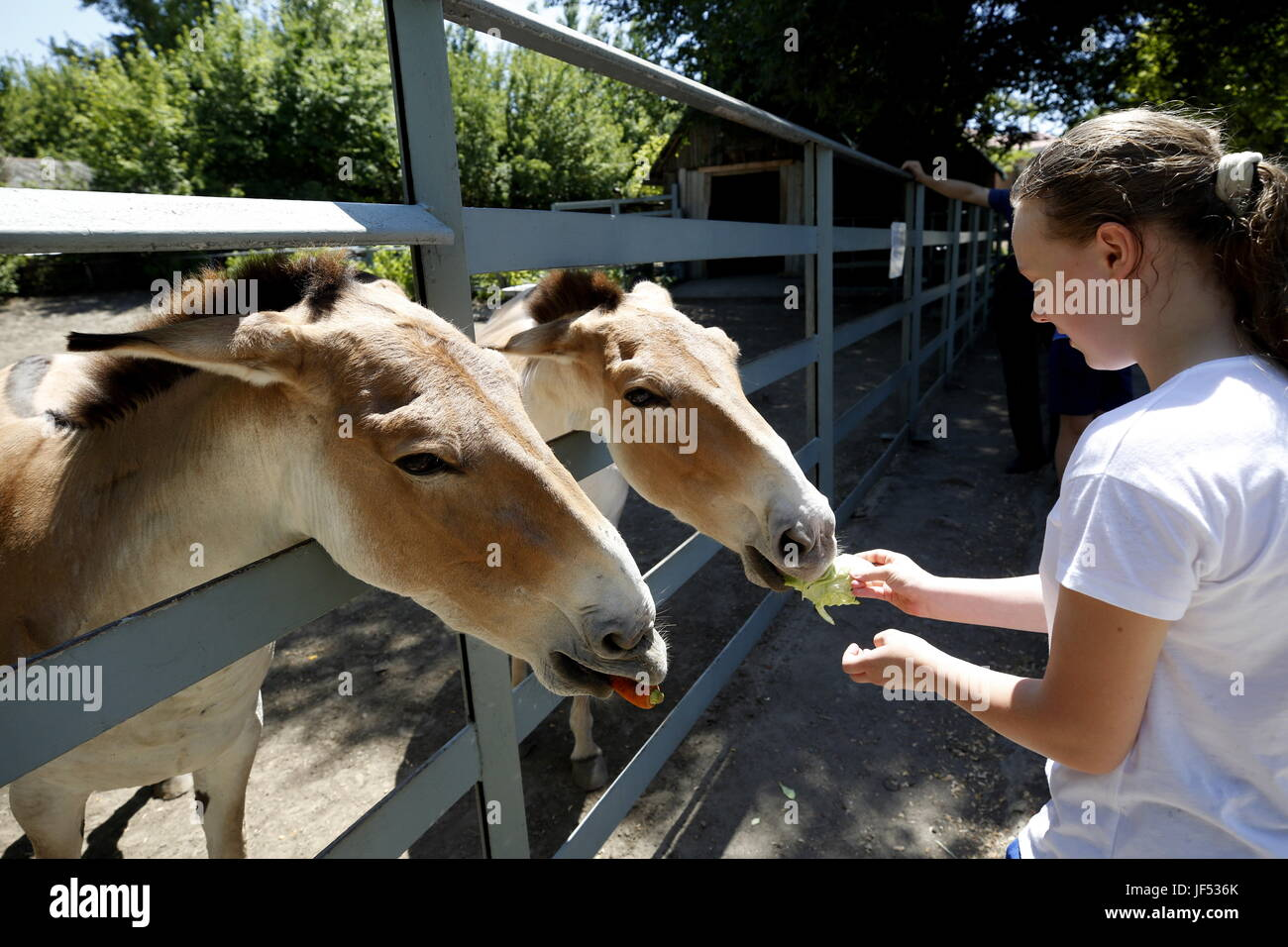 ROSTOV-ON-DON, RUSSIA – JUNE 28, 2017: Feeding onagers at the Rostov-on-Don Zoo. Valery Matytsin/TASS - Stock Image